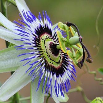 natürliches Hausmittel - Passionsblume